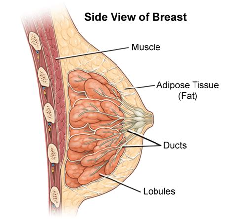diagram of breast tissue breast lump benign causes symptoms treatment breast