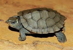 map turtle mississippi map turtles for sale from the turtle source