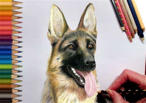 how to draw a german shepherd german shepherd pencil drawing pencil and in color german shepherd