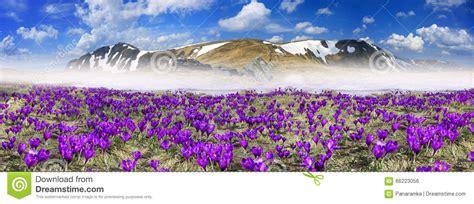 fiori fantastici fiori fantastici croco fotografia stock immagine 66223056