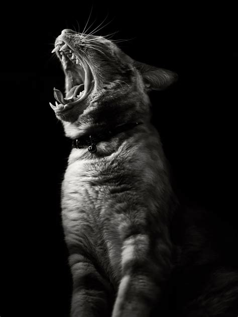 imágenes artísticas de gatos the mysterious lives of cats captured in black and white