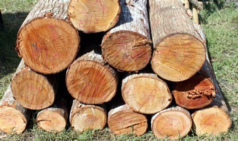 Gergaji Mesin Tebang Pohon tebang pohon 2 warga jatirejo ditangkap polisi