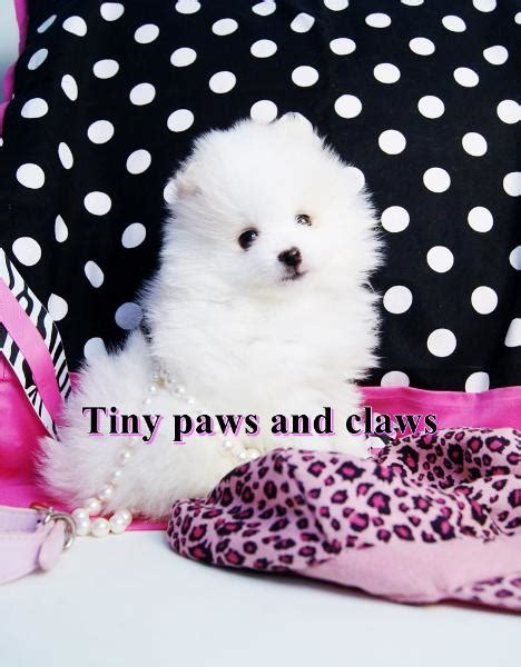cheap pomeranian puppies for sale in houston teacup pomeranians for sale pomeranian puppies for sale teddy breeds picture