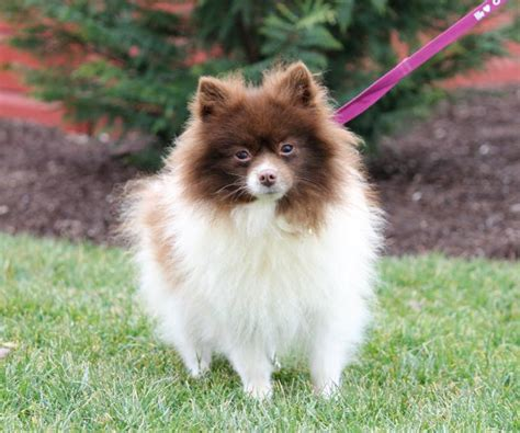 pomeranian puppies for sale in northwest arkansas friendly pomeranian craigspets