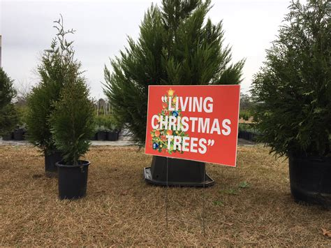 covington christmas tree farm going green with container trees alabama news