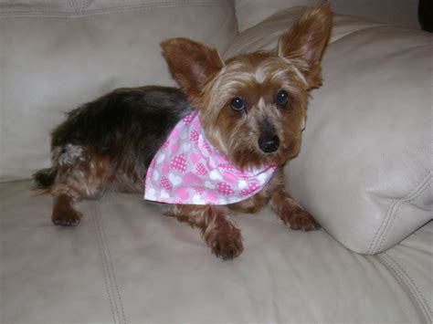 yorkie age adoption event tomorrow in mesa don t you need a small friend