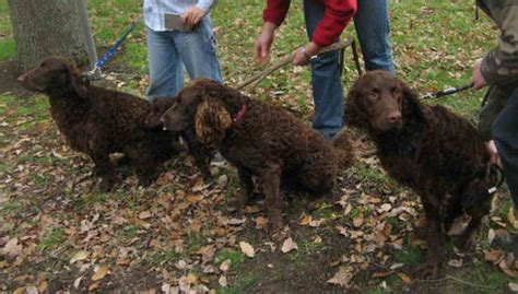 The Murray River Curly-Coated Retriever. | Natural History