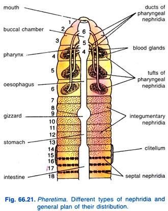 image gallery earthworm nephridia