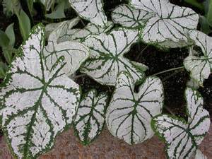 White Foliage Plants - glory s garden best gray and white foliage plants