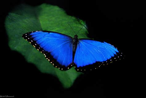 Butterfly Blue 5 facts about the blue morpho butterfly mnn