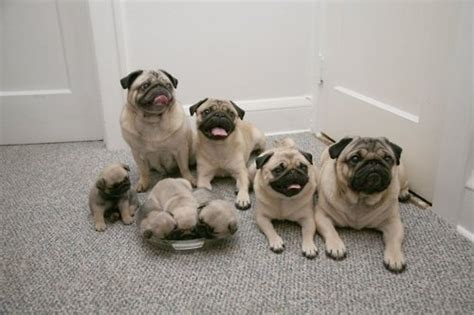 all things pug pug family for the home