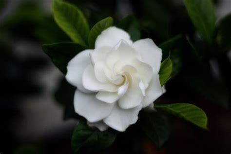 gardenia fiore gardenia pianta ornamentale da fiore