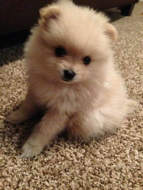 pomeranian accessories 305 best images about puppy on