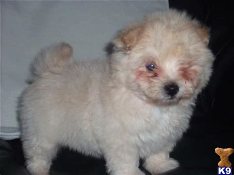 maltese pomeranian mix price pomeranian x maltese puppies pomeranian in vic for sale breeds picture