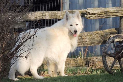 berger blanc suisse puppies for sale berger blanc suisse puppies for sale breeds picture
