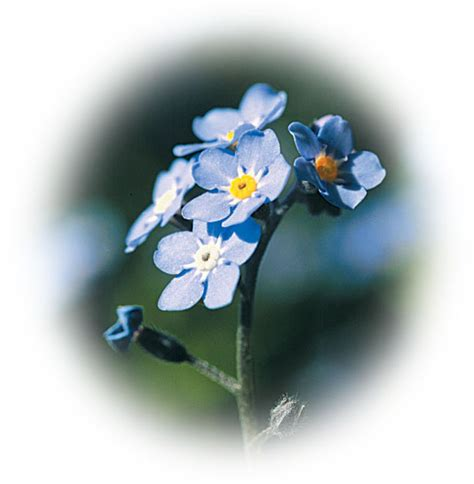 the forget me not mother of god