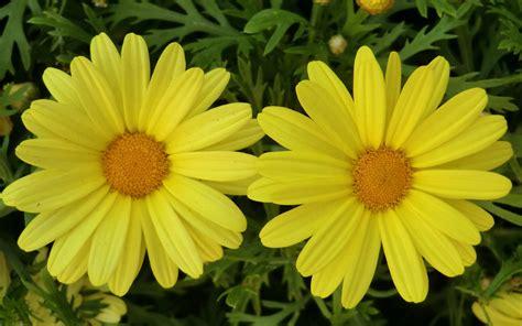 imagenes flores amarillas flores amarillas imagui