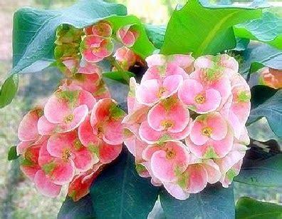 Bibit Euphorbia dunia tanaman hias cara menanam euphorbia