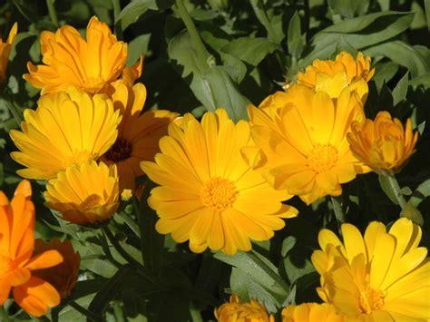fiori linguaggio linguaggio dei fiori giardinaggio mobi
