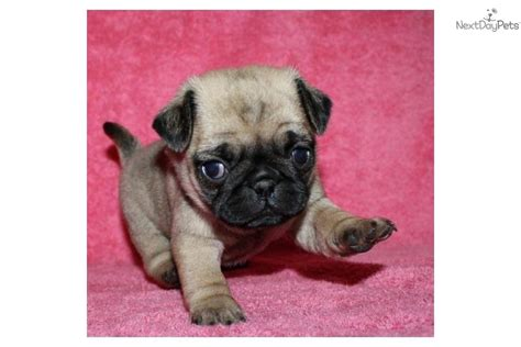 pug puppies for sale in nd pug puppy for sale near fargo moorhead dakota a7a33faa a5d1