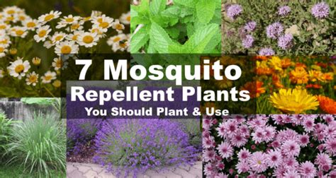 plants that repel aphids mosquito repellent plants 7 plants that repel mosquitoes
