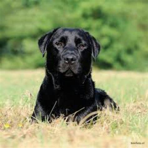 lab puppies nh 32 best images about labrador retrievers on