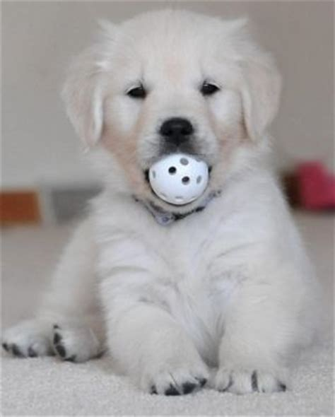 retriever doodle puppies for sale nz 17 best images about golden retrievers on