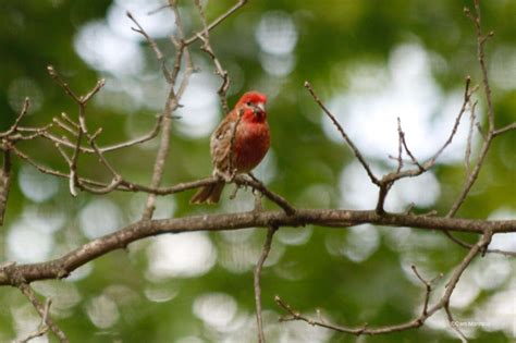 house finch diet july 2016 natural areas notebook
