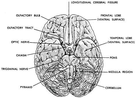 diagram of a human brain diagram basic diagram human brain