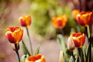 pretty orange pretty orange tulips leo mol park assiniboine park