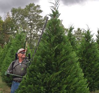 jeffco gardener real christmas tree industry needled by