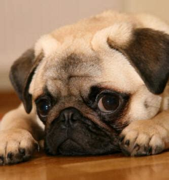 how big do pug dogs get pugs clothing products news and tips