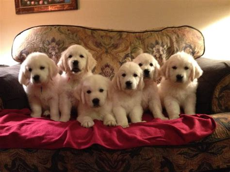 golden retriever breeders dallas tx tracy golden retriever breeder dallas