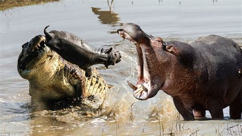 angry attacks angry hippo attack crocodile after baby hippo is