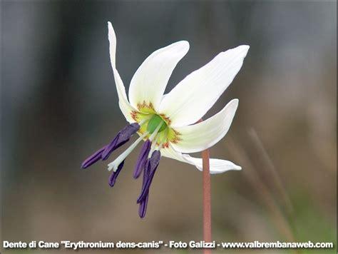 fiori dente di fiore dente di fare di una mosca