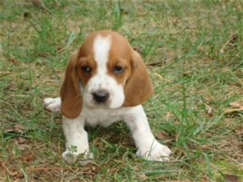 basset hound puppies wi basset hound puppies for sale