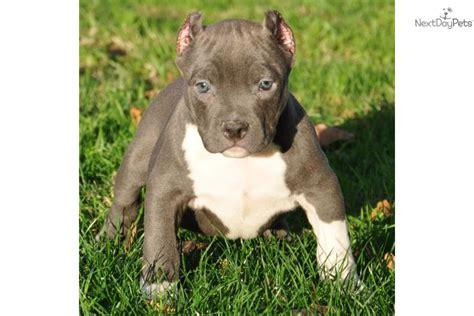 miniature pitbull puppies miniature american pit bull terrier car interior design