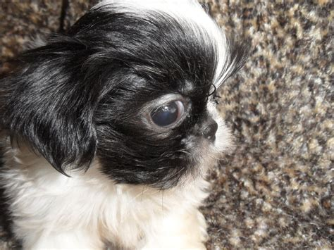 shih tzu going blind special need dogs shih tzu s by elaine