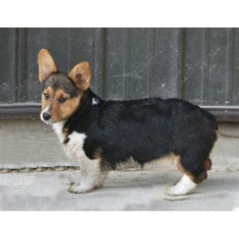 breeder indiana pembroke corgi breeders in indiana freedoglistings
