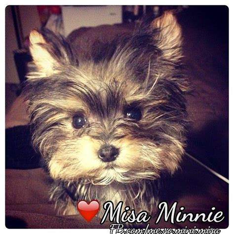 misa minnie yorkie 1000 images about misa minnie smart yorkie on shopping yorkie and