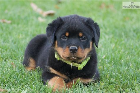 rottweiler puppies for sale in harrisburg pa rottweiler puppy for sale near harrisburg pennsylvania 698e56ed 1a91