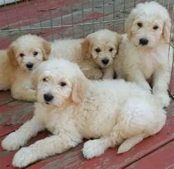 goldendoodle designer breed f1 f1b goldendoodles