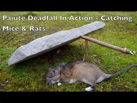membuat perangkap tikus sendiri cara membuat jebakan tikus dari batu cicakompong