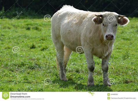 mucca charolaise giovane charolais giovane mucca di charolles immagine