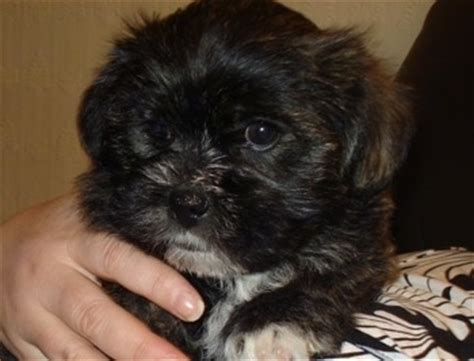 shih tzu west highland terrier mix weshi breed information and pictures