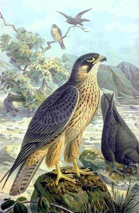 falconiformes wikipedia