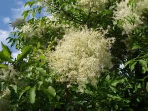 Rose Topiary Trees - flowering ash hello hello plants amp garden supplies
