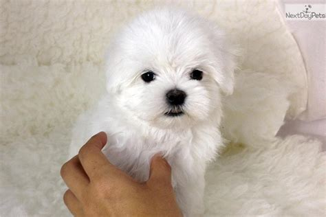 maltese puppies near me maltese puppies and show dogs from akc maltese puppy and