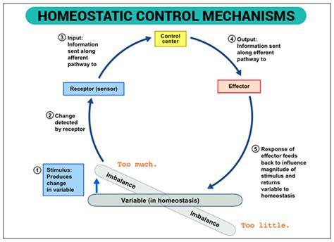 what is homeostasis definition exles homeostasis