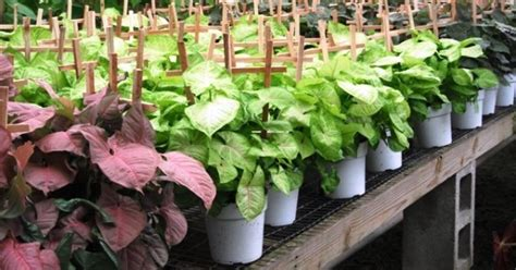 Plants That Grow In Dark Rooms | looking for plants that survive dark room try syngoniums